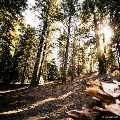 #light and #shadow in the forest of #sequoia #nationalpark. #fuji #provia100f Forest Forrest Landscape Light And Shadow Outdoors Park Sequoia National Park The Way Forward Tranquility Tree Treelined WoodLand