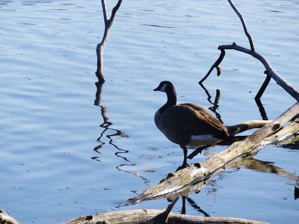 Canadian Goose On Branches Reflected in Water Canadian Geese Goose EyeEm Animal Lover EyeEm Best Shots - Nature Water Reflections Water_collection Branch Branch In Water Canadian Goose Pond Meditative A Bird's Eye View
