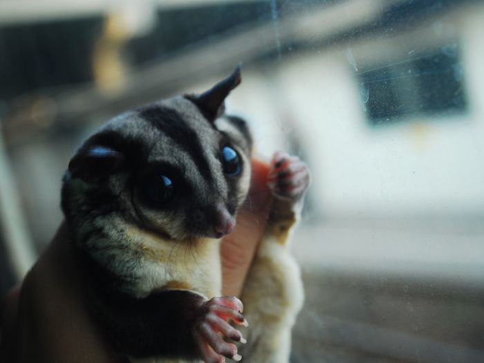 Pets Sugarglider animal First Eyeem Photo