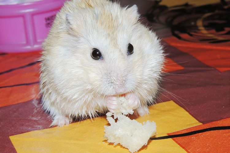 Let's Eat Hamster Love Hamster Baby Animals Animalloversofinstagram Animal Photography Check This Out TheOOMission Animal_collection Animal Portrait