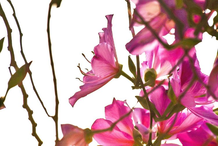 Flower Pink Color Beauty In Nature Petal Nature Fragility Branch Blossom Growth Freshness No People Purple Close-up Plant Day Flower Head Outdoors Leaf Springtime Low Angle View