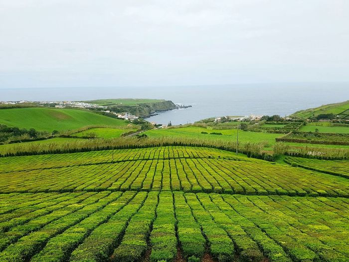 Green Color Outdoors Rural Scene Tea Crop Growth Agriculture Landscape Volcanic Landscape Azores Islands Sao Miguel- Azores São Miguel - Açores Atlantic Ocean Portugal Coast Ocean Tea Fields Greenery View