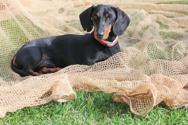 Lounging Dachshund Grass Poised Settled Sunny Animal Animal Head  Animal Themes Black Color Canine Comfortable Dachshund Dog Domestic Animals Grass Looking Lounging Nature Net No People One Animal Outside Pets Portrait Relaxation Resting