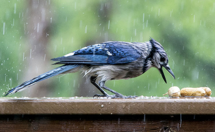Snapping up the nuts Bird Food Blue Jay Animal Animal Themes Animal Wildlife Animals In The Wild Bird Bird Eating Bird In The Rain Focus On Foreground Motion Nature No People One Animal Outdoors Perching Water Wet Wet Bird