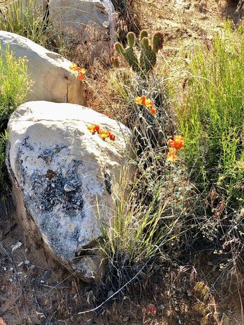 Orange blossom rock Plant Nature Solid Rock Growth No People Rock - Object Beauty In Nature Flower Flowering Plant Environment