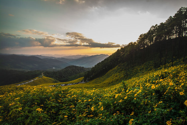 Yellow flowers growing on field against sky during sunset