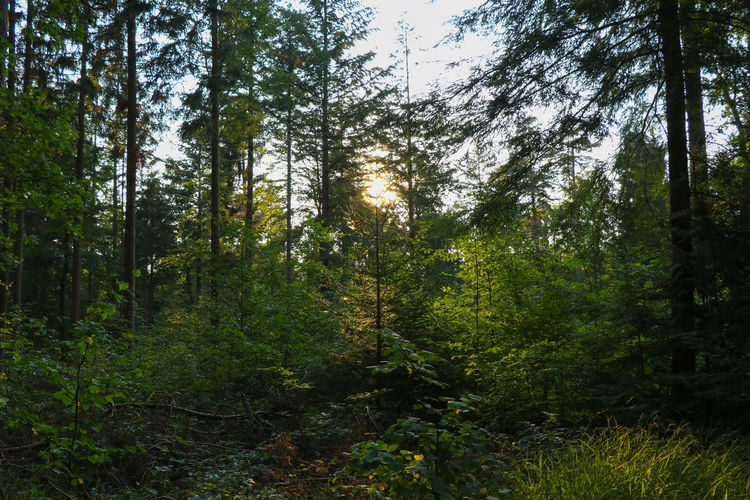 Sun shining through trees Sunlight Beauty In Nature Day Environment Foliage Forest Green Color Growth Land Lush Foliage Nature No People Non-urban Scene Outdoors Plant Scenics - Nature Sky Sun Trail Tranquil Scene Tranquility Tree WoodLand
