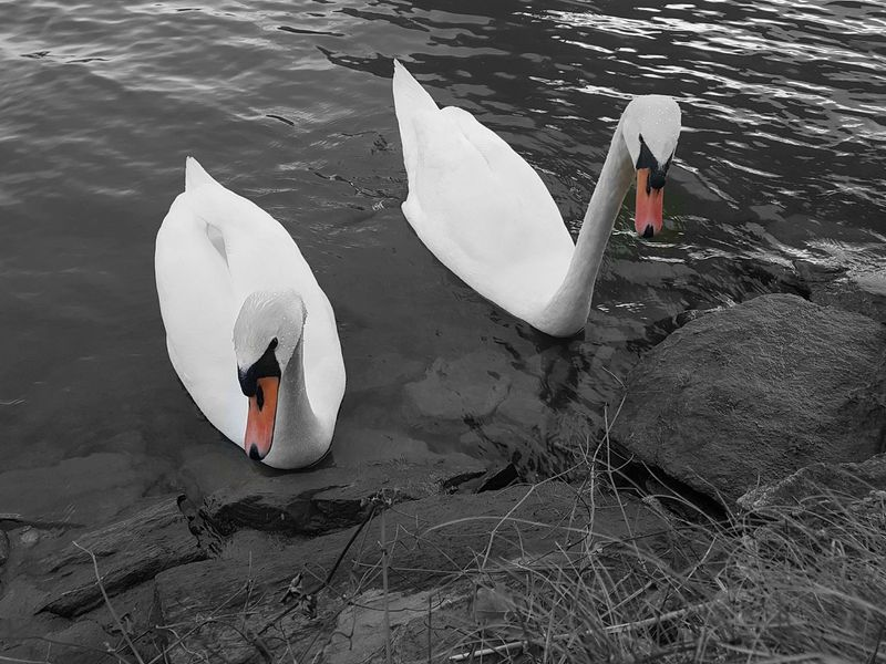 Water High Angle View Adventure Swans ❤ Swan Series Black And White With A Splash Of Colour Nature_collection Beauty In Nature Eyem Masterclass The Week On Eyem The Week Of Eyeem THE EYEM WEEKEND Eyemphotography Eyem Best Shots Best Of EyeEm Nature Best Of Nature Naturephotography Eyem Best Edits Newtalent Riverside Drava EyEmNewHere Nature Photography Outdoors
