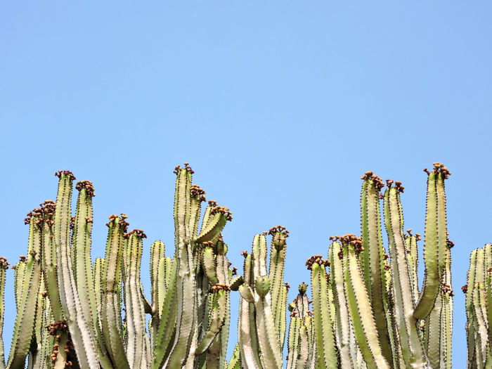 Cactus Growing Against Clear Blue Sky