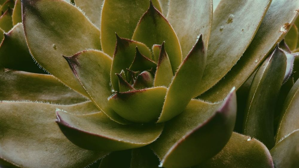 Cactus Growth Nature Thorn Plant Aloe Green Color Beauty In Nature Close-up Aloe Vera Plant Alternative Medicine Spiked No People Outdoors Flower Healthcare And Medicine Leaf Herbal Medicine Day Prickly Pear Cactus Chicks And Hens The Great Outdoors - 2017 EyeEm Awards