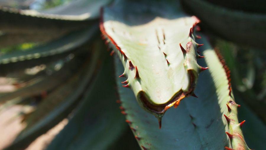 Close-Up Of Aloe Vera Plant Outdoors