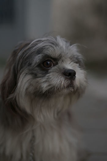 shihtzu Pets Portrait Dog Young Animal Animal Hair Cute Puppy Close-up Ear Human Ear Snout Animal Nose Animal Face Animal Ear At Home Animal Tongue Adult Animal Hair Mixed-breed Dog Nose Yorkshire Terrier Shih Tzu Lap Dog Animal Eye Pug Chihuahua - Dog Cavalier King Charles Spaniel