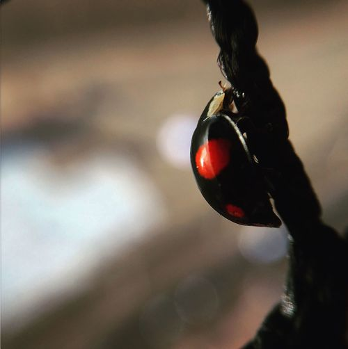 Ladybug of the Tower