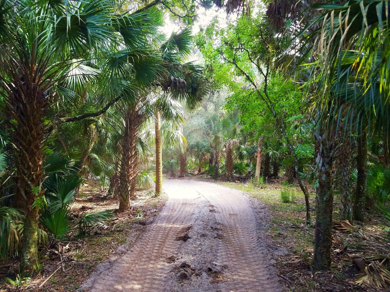 tree, the way forward, nature, tranquility, growth, beauty in nature, palm tree, no people, scenics, outdoors, landscape, day