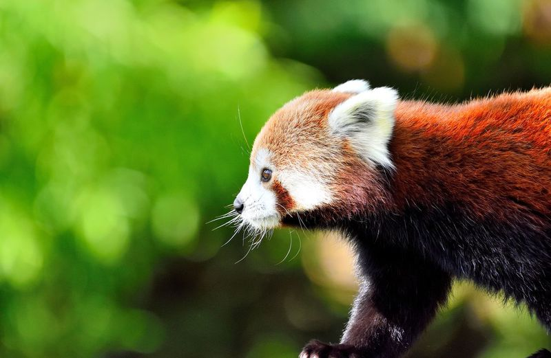 Love ZOO-PHOTO Animal Themes Animal Wildlife Animals In The Wild Beauty Beauty In Nature Beauval Close-up Cute Day Focus On Foreground Mammal Nature One Animal Outdoors Panda - Animal Red Red Panda Redpanda Zoo Animals  Zoology