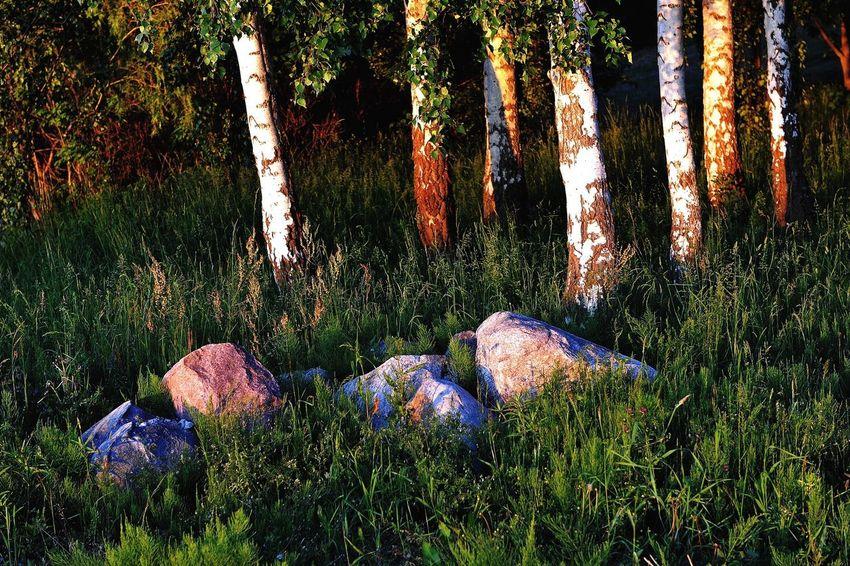 Birches GERMANY🇩🇪DEUTSCHERLAND@ Germany Mecklenburg-Vorpommern Vilm Landscape Nature Trees Birch Birch Tree Birches Stone Rocks Grass Sunlight Sunlight Through Trees Sunlight ☀