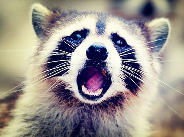 I lost my other racoon picture, somehow