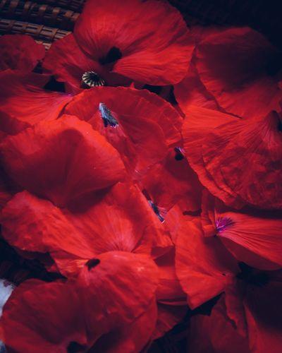 papavero Flower