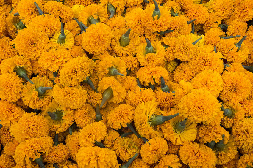 Abundance Backgrounds Beauty In Nature Close-up Day Floral Garland Flower Flower Head Flower Market Flowerbed Flowering Plant Fragility Freshness Full Frame High Angle View Inflorescence Marigold Nature No People Outdoors Plant Vulnerability  Yellow