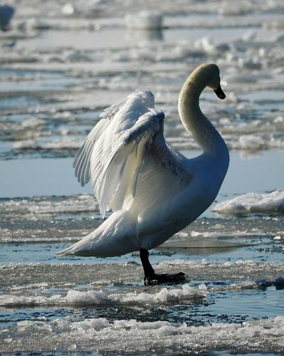 Bird Animals In The Wild Animal Wildlife Animal Themes One Animal Water Animal Sea Bird Nature Close-up Spread Wings Spreading Wings Winter Nature Outside Cold Temperature Sunlight Frozen Sea Swan Outdoors Animals In The Wild Full Length Winter Sea Swansea Nature Beautiful Nature