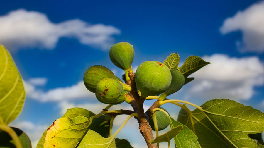 Close-up of fruit growing on plant against sky