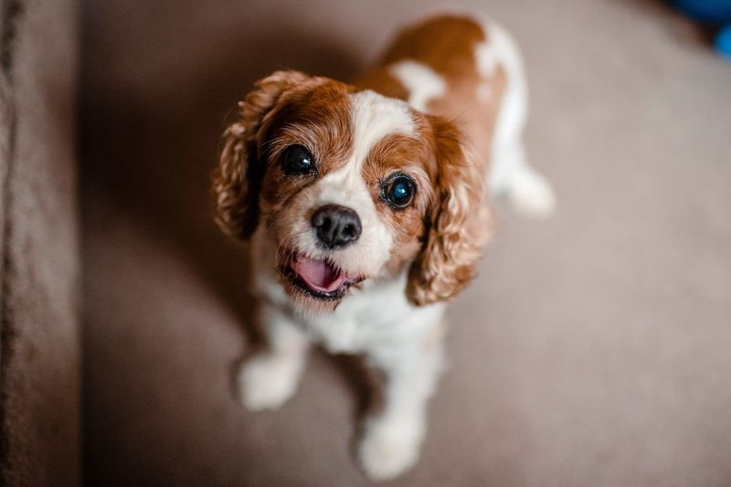 High angle portrait of cute puppy standing at home