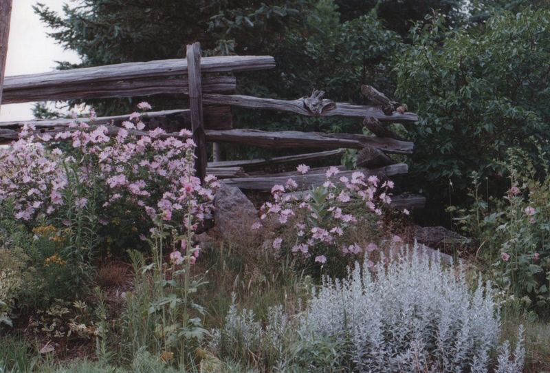 Pretty Beauty In Nature Flower Growth Nature No People Outdoors Perenial Flowers Split Rail Fence