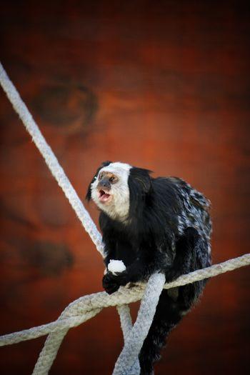 White faced marmoset sitting on rope