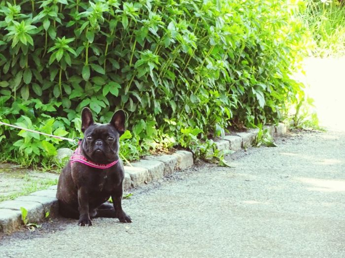 The Street Photographer - 2016 EyeEm Awards Street French Bulldog Dog Black Dog Cute Dog  Small Dogs  Puppy