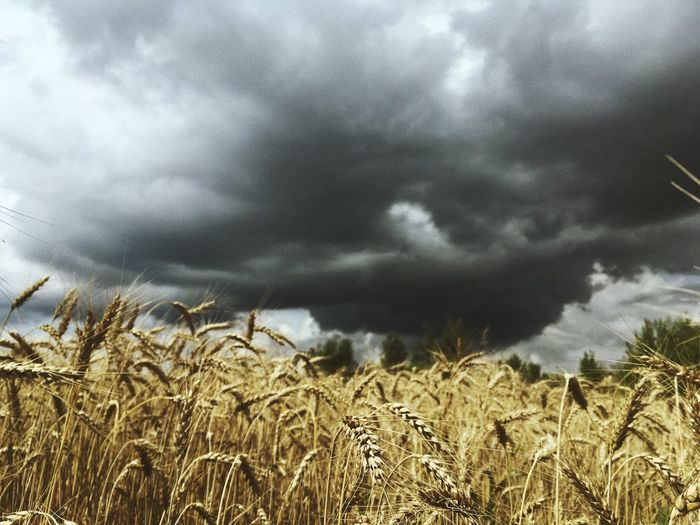 Wheat field against cloudy sky