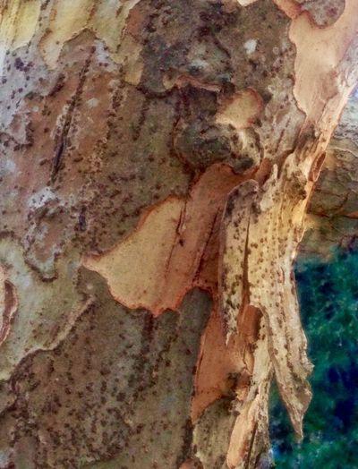 Tree 😚 Tree Bark Texture Tree Bark Wood Tree Bark Closeup Close-up No People Textured  Nature Backgrounds Day Outdoors Saikai Japan