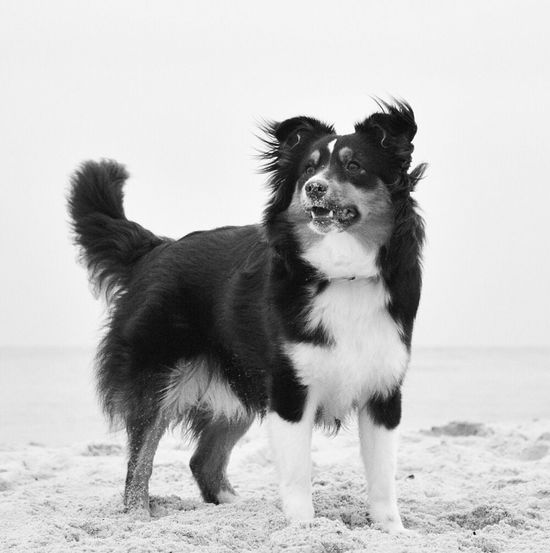 Black and white beauty Blackandwhite Photography Black And White Aussie Australianshepherd Miniaustralienshepherd Miniaussie MiniAustralianShepard Australian Shepherd  Black & White Blackandwhite White Background Nature Outdoors No People One Animal Pets Dog Mammal Animal Themes Domestic Animals Aussie Shepherd Aussiephotos Day Pet Portraits