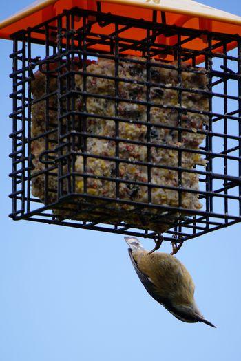 Bird Bird Feeder Hanging Bird Photography Bird On Cage Bird Upside Down Cage Hanging City Animal Themes Bird Feeder