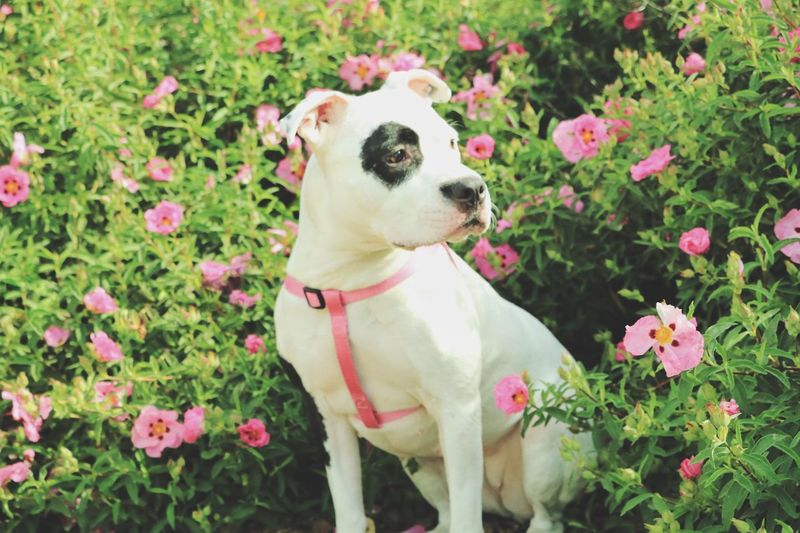 all about Princess Pitbullsofinstagram Pitbull Advocate Pitbulls Dogs Of EyeEm Nature EyeEm Best Shots Dog Flower Pets One Animal Domestic Animals Animal Themes Plant Growth Day No People Pink Color Mammal Outdoors Leaf Fragility Freshness Close-up Pet Portraits