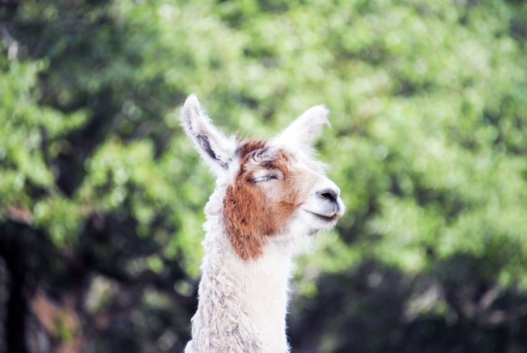 Close-up of llama against blurred plants