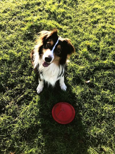 Time for some instant happiness Waiting Puppy Frisbee Good Boy Amsterdam Hapiness Australian Shepherd  Grass Dog Pets One Animal Domestic Animals Mammal Animal Themes Field Nature High Angle View Sitting No People Green Color Red