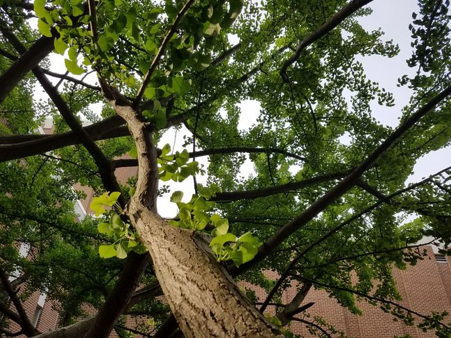 That's why I'm at home even when I'm on the road. Ginko Leaves Ginko Tree UNCG Taylor Theatre Aycock Theatre Low Angle View Tree Nature Growth Branch Beauty In Nature No People Green Color Outdoors Sky Day