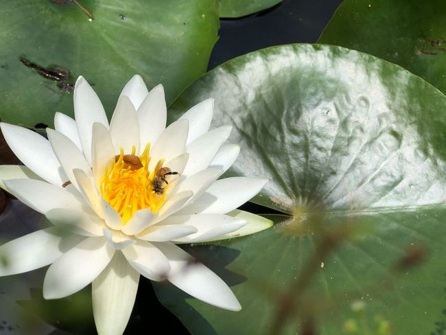 Flower Flowering Plant Beauty In Nature Plant Freshness Petal Fragility White Color Pollen Nature Leaf Water Lily Pond No People Lotus Water Lily Flower Head Inflorescence Close-up Vulnerability  Growth