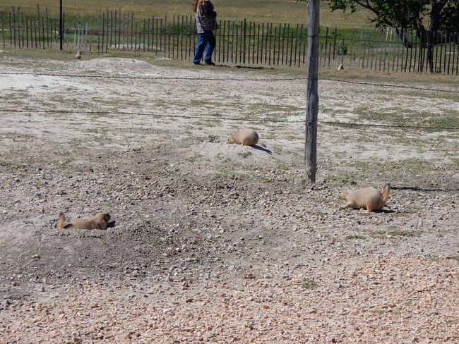 Badlands Badlands National Park Onguard Prairie Dogs Prairiedog Socute South Dakota USA