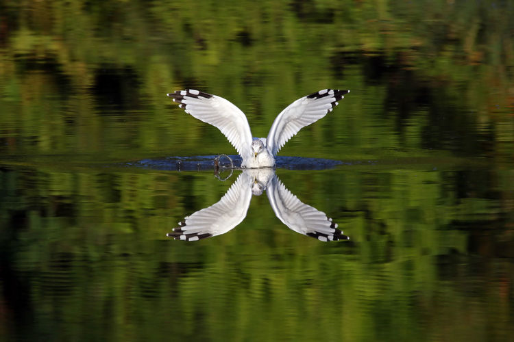 """""""X"""" Animal Behavior Animal Themes Animals In The Wild Avian Beauty In Nature Bird Day EyeEm Nature Lover Flying Green Color Lake Nature No People One Animal Outdoors Reflection Ring-billed Gull Scenics Spread Wings Symmetry Water Water Bird Waterfront Wildlife Zoology"""
