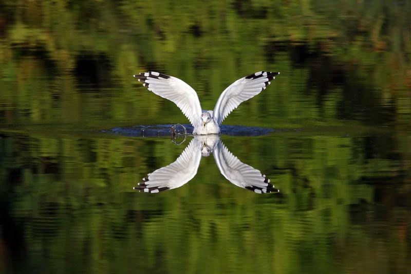Ring billed gull swimming in lake