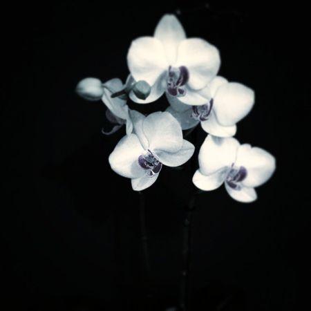 Elskerminorkide 😁 Blomster Orchid