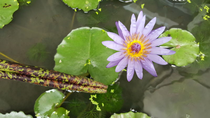 Animal Themes Beauty In Nature Close-up Day Flower Flower Head Fragility Freshness Growth High Angle View Leaf Nature No People Outdoors Petal Plant Water Water Lily