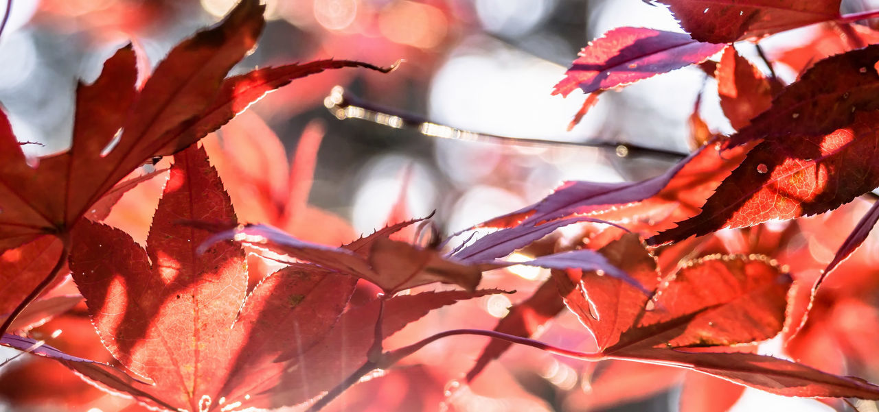 Japanese fan maple (acer sp.) against the setting autumn sun, strong colour and light effects Acer Japonicum Bright Colourful Red Sunlight Vivid Acer Acer Palmatum Acer Shirasawanum Autumn Beauty In Nature Branch Bush Closeup Foliage Fragility Golden Hour Growth Leaf Maple Maple Leaf Maple Tree Nature Red Tree