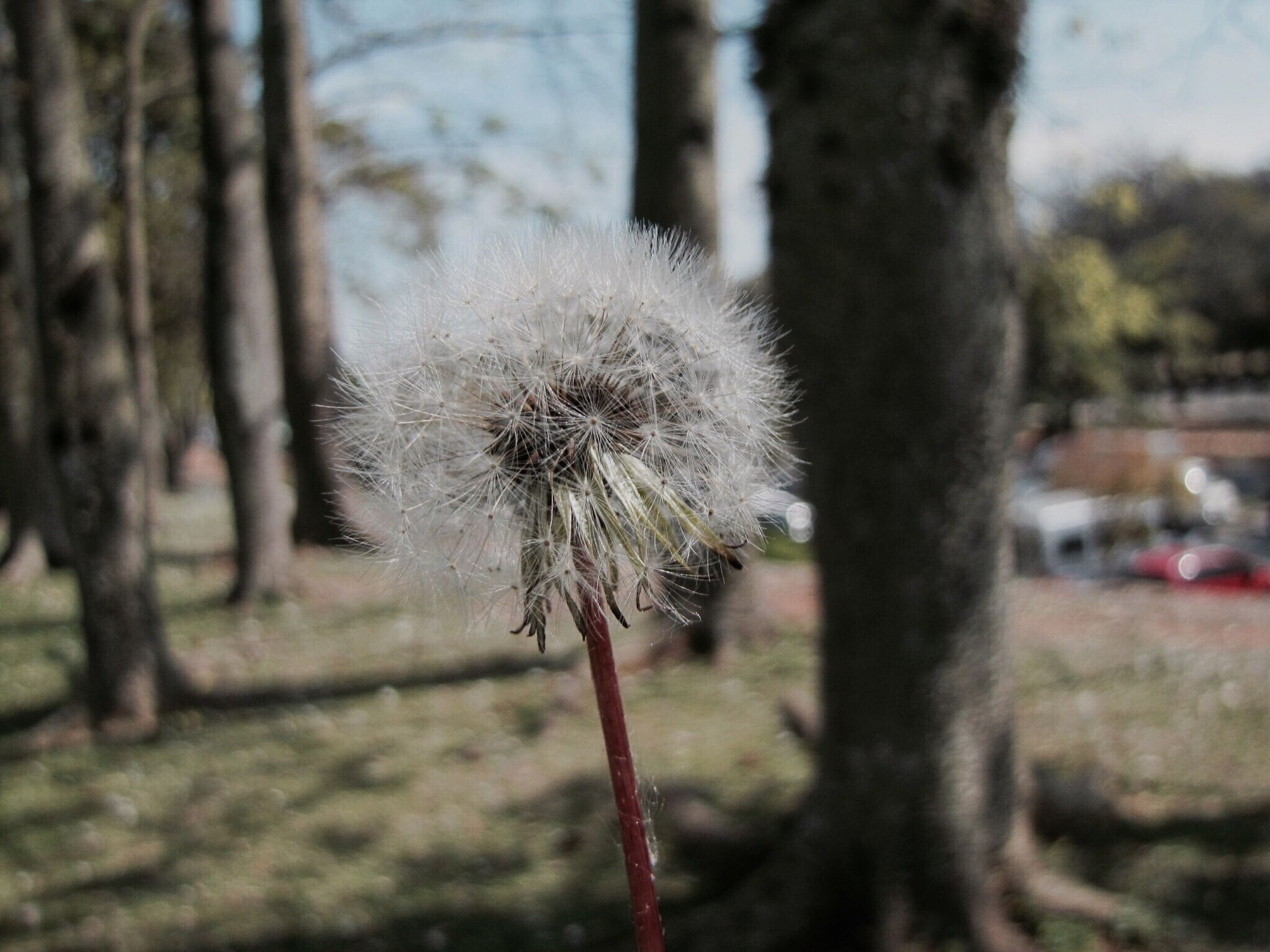 dandelion, focus on foreground, growth, fragility, flower, close-up, plant, stem, beauty in nature, nature, uncultivated, flower head, softness, single flower, day, freshness, wildflower, outdoors, growing, tranquility, no people