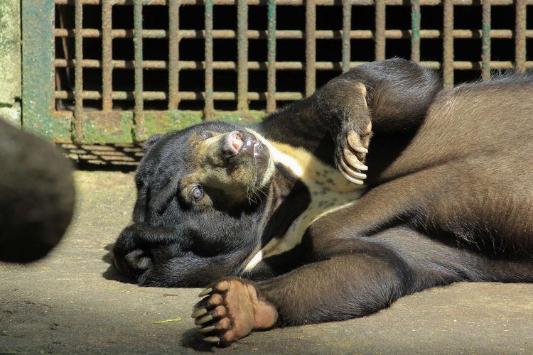 Sun bear sleeping lazily at gembira loka zoo, yogyakarta, indonesia.