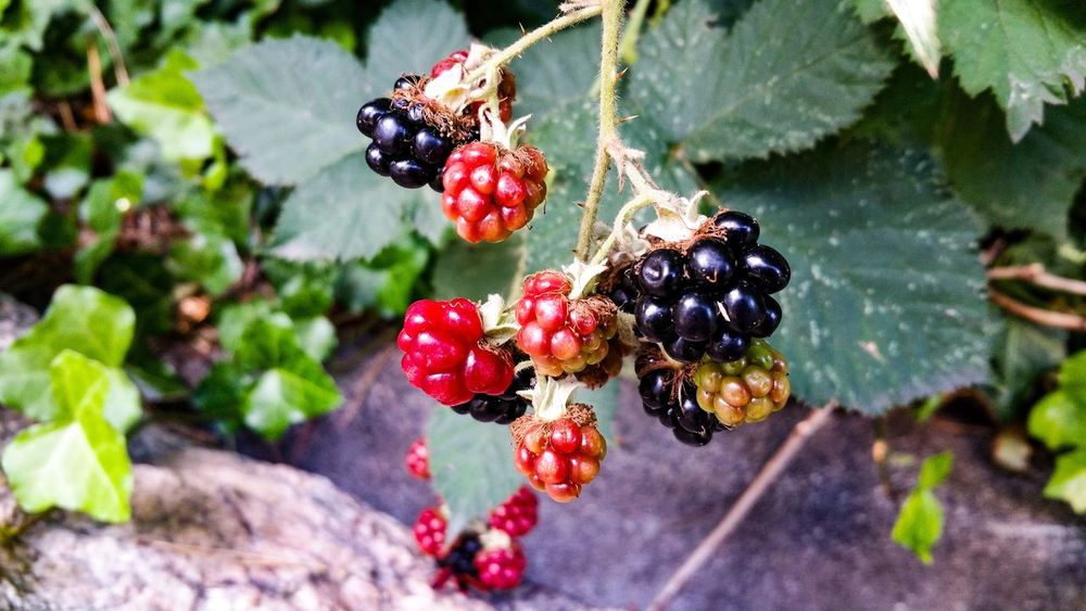 Fruit Healthy Eating Berry Fruit Food Food And Drink Plant Freshness Close-up Growth Wellbeing Day No People Red Nature Focus On Foreground Blackberry Blackberry - Fruit Outdoors Beauty In Nature Tree