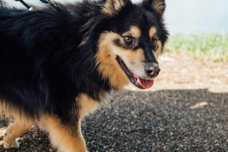 Finnish Lapphund dogs on a walk. Animal Themes Close-up Day Dock Dog Domestic Animals Finnish Lapphund Fluffy Health Landscape Leash Mammal Man Nature No People One Animal Outdoors Park Pet Pets Walk Walking