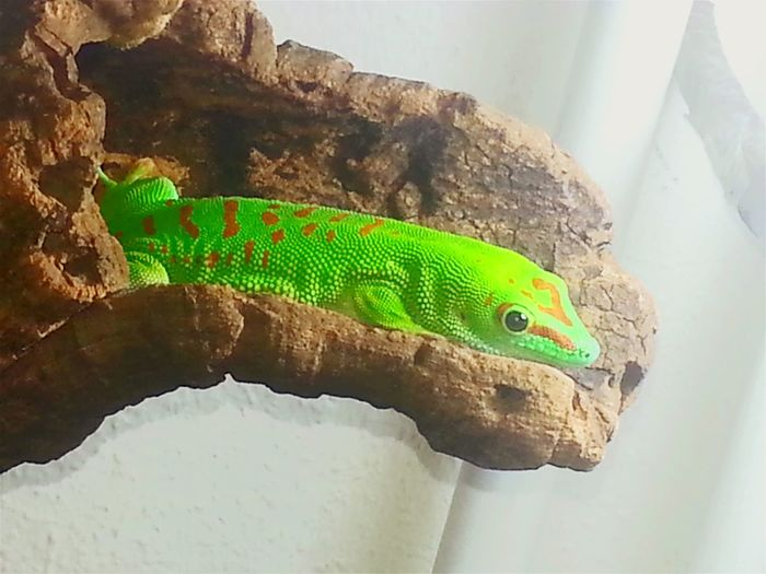 """Clyde"", 8 y.o. Phelsuma grandis, male. Since yesterday he is living outside a terrarium. Relaxing Taking Photos Check This Out Enjoying Life Hello World Geckos Grandis Phelsuma Daygecko Nature Beautiful Nature Reptilelove Reptile Reptile World Reptiles Special_shots Animals Animal Gecko Free Freedom Green Green Color Green Nature Exotic Creatures"