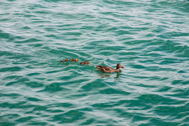 High angle view of duck family swimming